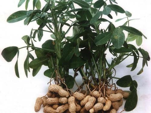 выращивать арахис