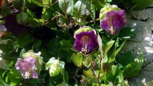 Выращивание и уход за кобеей в домашних условиях