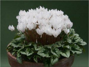 Выращивание цикламена в домашних условиях