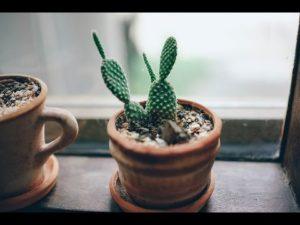 Выращивание кактусов в домашних условиях