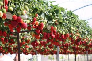 выращивание клубники в теплице