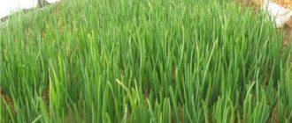 выращивание лука на перо