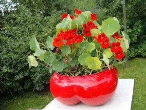 Выращивание настурции из семян в домашних условиях