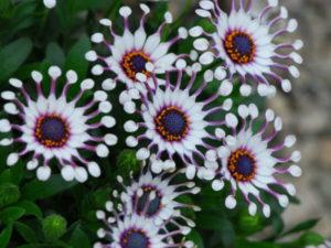 Выращивание остеоспермума из семян в домашних условиях