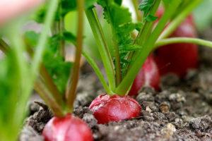 Выращивание редиса в домашних условиях зимой