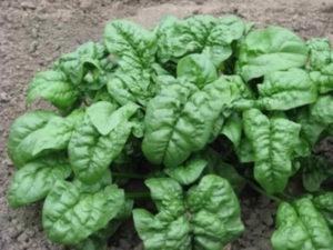 Выращивание шпината из семян в домашних условиях