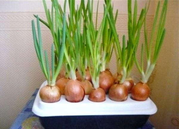Выращивание зеленого лука в домашних условиях