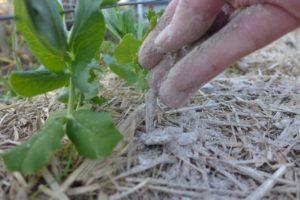 Древесная зола: применение в качестве удобрения для рассады