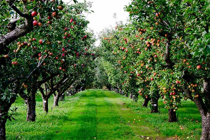 яблоки не дают плодов почему