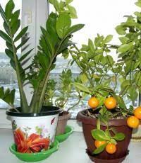 выращиваем лимон из косточки