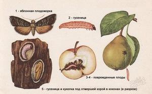 ловчие пояса от плодожорки