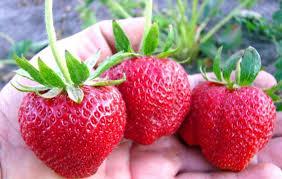 земляники по-фински выращивание клубники по фински
