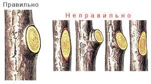 Как формировать крону плодовых деревьев