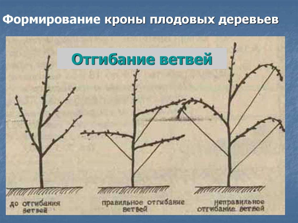 формировать крону плодовых деревьев