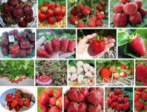 лучшие сорта клубники для выращивания