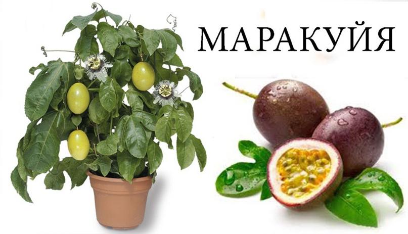 Пассифлора – цветок страсти. Особенности выращивания маракуйи.