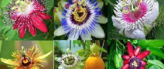 пассифлора выращивание