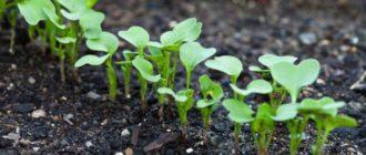Как правильно прореживать посевы овощей