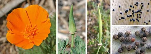 Эшшольция, калифорнийский мак, полынок - цветок теплой радости