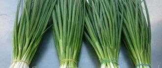 Лук-батун, или татарка: как выращивать эффективно
