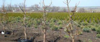 Осенняя посадка плодовых культур: преимущества