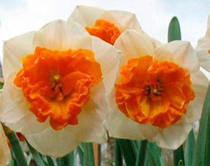 Классификация садовых групп нарциссов